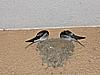[写真]東京でのツバメの巣作り