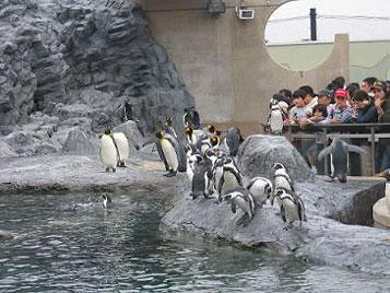 [写真]旭山動物園のペンギン