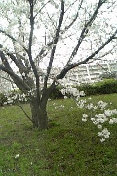 [写真]桜
