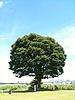 [写真]ケヤキの樹