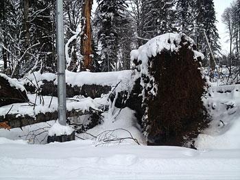 [写真]強風で根こそぎ倒れる