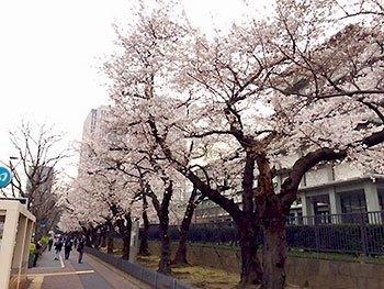 [写真]霞ヶ関の桜並木