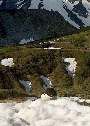 [写真]雪の上の雷鳥