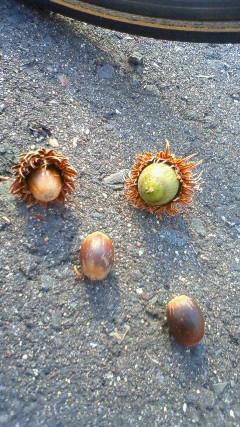[写真]路面に落ちていたドングリ