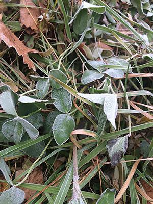 [写真]霜の降りた葉