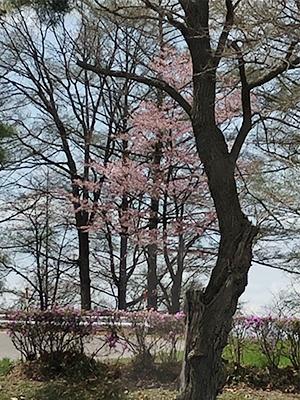 [写真]久保選手の自宅から見える桜