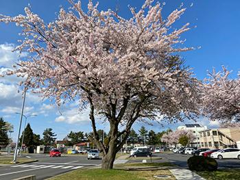 [写真]米軍基地前の桜満開を迎えています