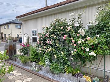 [写真]バラの花が咲き始めました