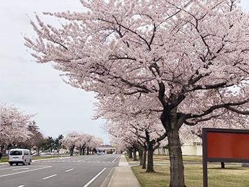 [写真]米軍基地内メイン道路沿いに咲く桜