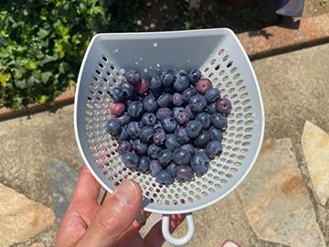 [写真]本日収穫したブルーベリー