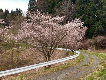 [写真]ランニングコース途中に咲く桜