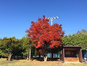[写真]青空の下、駐車場の木の紅葉