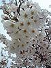 [写真]満開の桜