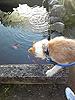 [写真]犬が池にいる金魚を眺めている