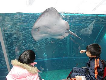 [写真]アクアマリン福島でエイを見る子供たち
