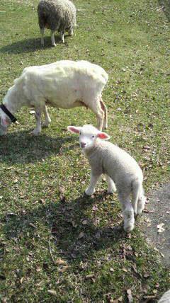 [写真]ニュー・グリーンピア津南にいた羊