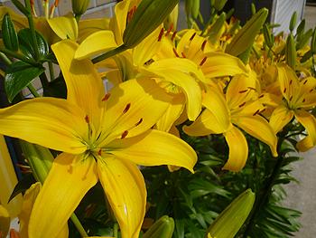 [写真]ゆりの花