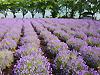 [写真]八木崎園のラベンダー
