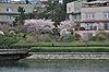 [写真]バンクーバーの桜
