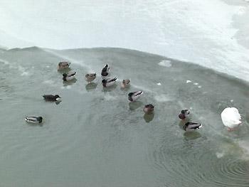 [写真]氷の上で動かない鴨